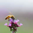 Why bees have sweaty feet