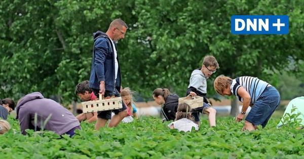 Die Erdbeeren sind reif – Wo man sie in und um Dresden selbst pflücken kann