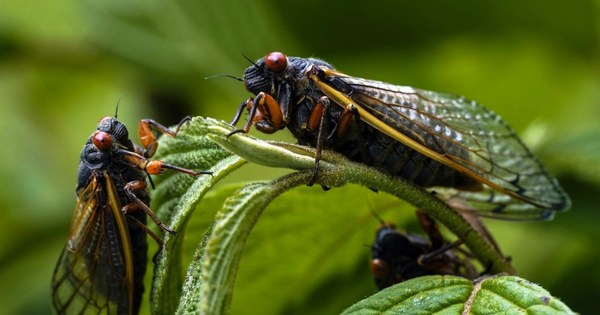 FDA says to not eat cicadas if you have a seafood allergy