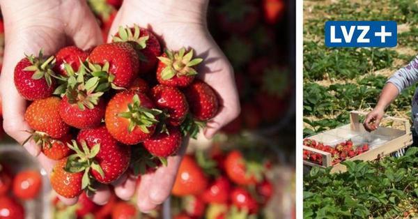 Start der Erdbeersaison: Hier können Leipziger selbst pflücken