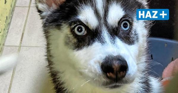 Nach Unfall auf A2 bei Lehrte: Polizei stellt erneut illegale Hundewelpen sicher