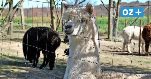 Naturwanderungen mit den Alpakas aus Hamberge endlich wieder erlaubt