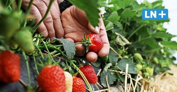 Hier gibt es Erdbeeren zum Selbstpflücken