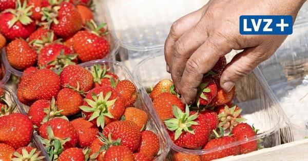 Wachstumsschub statt Wetterschäden Darum könnte die Erdbeerernte von den Wochenendgewittern profitieren