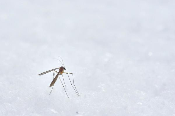 Genetically Altered Mosquitoes Target Dengue Fever and Zika