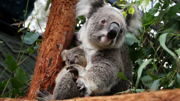 """Gesichtserkennung für Koalas: """"Volkszählung"""" der Tiere geplant"""