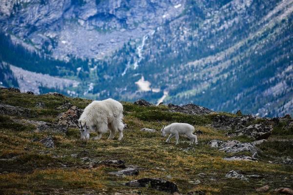 WILD About Mountain Goats