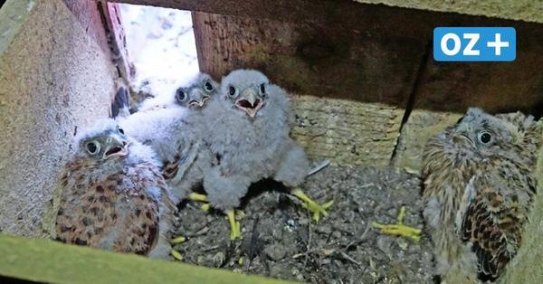 Rettungsaktion in Stralsund: Falken-Nest mit Eiern nach Bauarbeiten wieder freigelegt