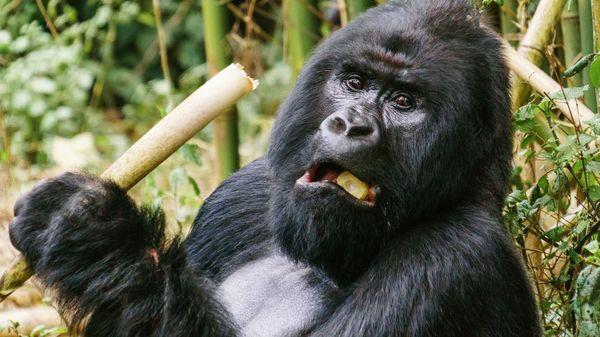 """Forscher: Menschenaffen droht dramatischer Verlust des Lebensraums - """"Massensterben"""" muss verhindert werden"""