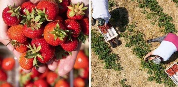 Erdbeeren können in und um Leipzig selbst gepflückt werden. Quelle: dpa
