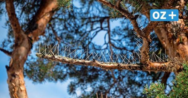 Natur contra Tourismus: Baum in Binz soll mit Stahlnadeln Vögel fernhalten