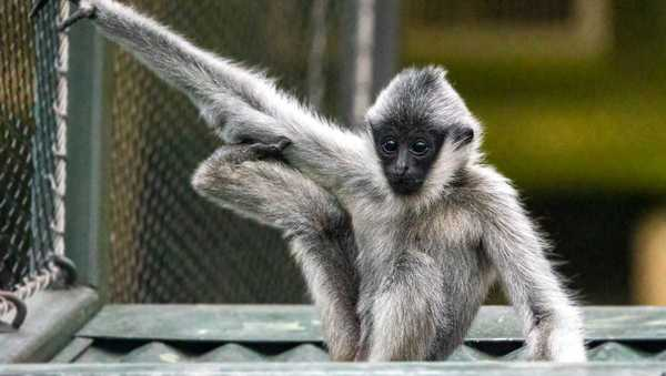 Kansas City Zoo says one of its young gibbons has died