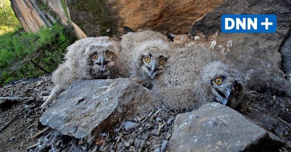 Nationalpark Sächsische Schweiz: Parkwacht beobachtet brütende Vögel
