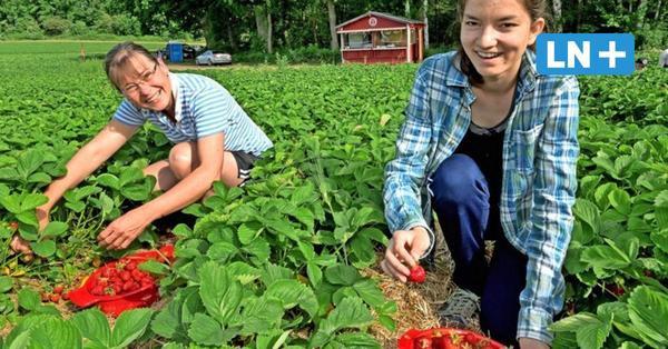 Ostholstein: Hier können Sie Erdbeeren selber pflücken