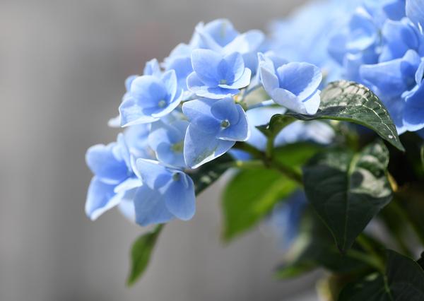 Manche Hortensien blühen blau, da sie den Farbstoff Delphinidin in sich tragen - allerdings muss der Boden dafür einen niedrigen pH-Wert haben. Foto: Andrea Warnecke/dpa