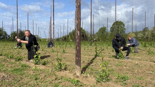 Boeschèpe : la mise au fil du houblon - de hopdraad op