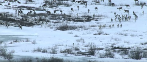 Wolves Culling Deer Herds