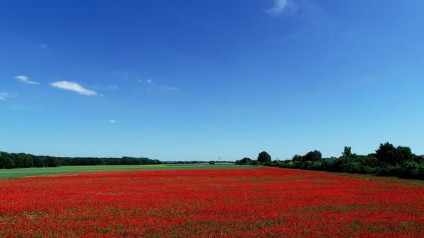Was für Farben: Klatschmohnfeld in voller Blüte. (Foto: Gernot Rücker)
