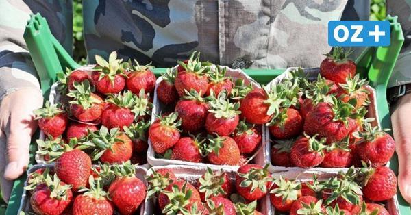 Erdbeeren aus MV: Hier können Sie die leckeren Früchte selbst pflücken