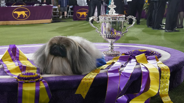 Wasabi, a Pekingese, won this year's Best in Show at the 145th Annual Westminster Kennel Club Dog Show. Nominate your pet to appear in The Highlighter: hltr.co/pets