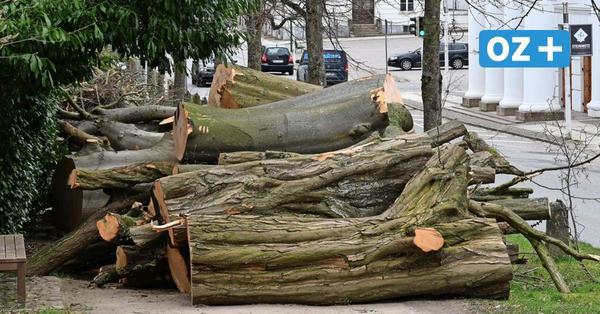 Nach umstrittenen Fällungen im Putbusser Schlosspark: Baumstümpfe bleiben im Boden