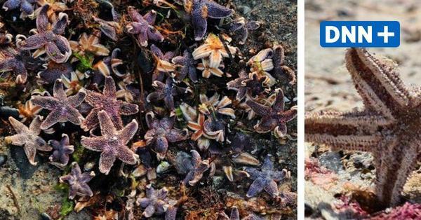 Hunderte tote Seesterne am Warnemünder Strand angespült: Das ist der Grund