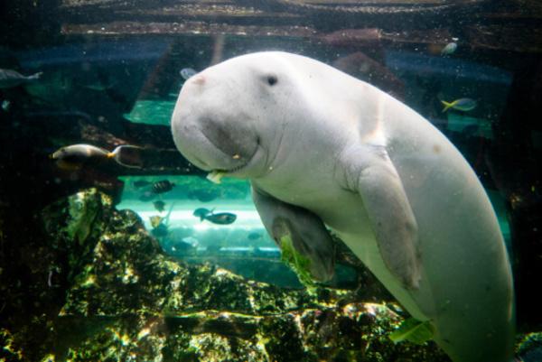 """It's a dugong! Aka, """"sea cow."""""""
