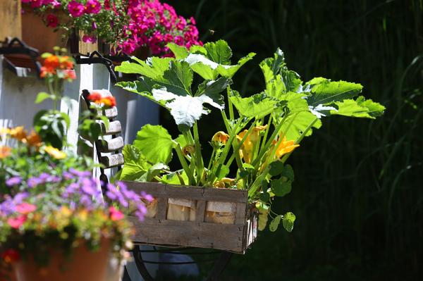 Die Blüten der Zucchini sind sehr schmackhaft. Foto: Karl-Josef Hildenbrand/dpa