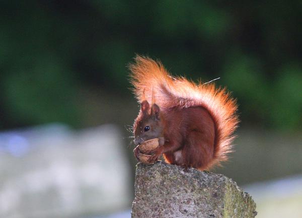 Eichhörnchen Foto: Sabine Schwarz
