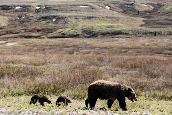 Problem grizzly or problem people? A Togwotee Pass standoff