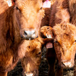 Colorado Supreme Court rejects animal cruelty ballot measure strongly opposed by farmers, ranchers