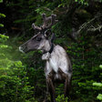 Caribou keepers