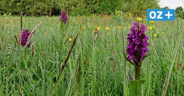 Warnow:Wanderung zu Orchideen am Santower See