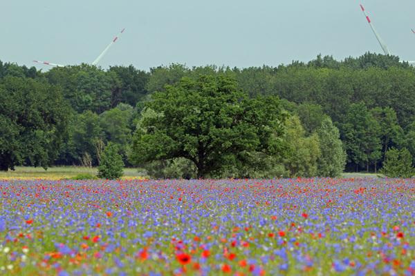 Blumenmeer bei Bad Doberan (Foto: Sabine Schwarz)