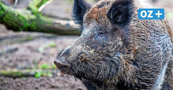 Wildschweine werden in der Stadt geschossen: Die Zeit ab Winter wird wichtig
