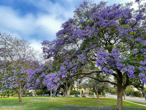 Jacaranda in Beverly Hills from a morning walk this weekend