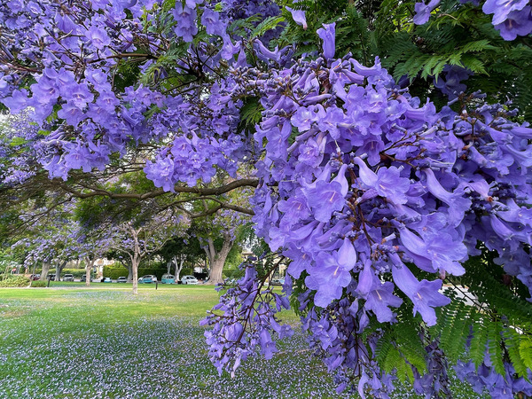 Jacaranda I photographed up close so you can see the bell-like shape of the flowers.