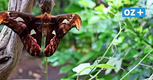 Klütz: Tropische Falter warten wieder auf Besucher im Schmetterlingspark