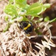 Wild bees need deadwood in the forest
