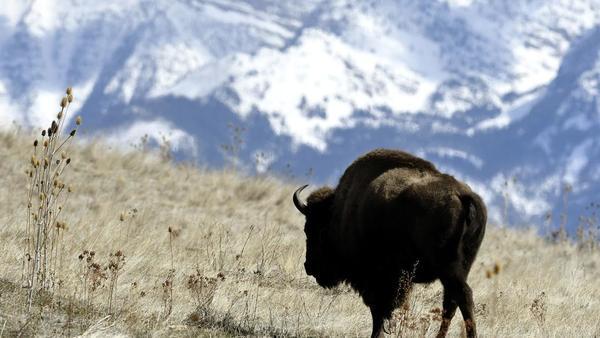 Range restored: Feds return bison preserve to CSKT