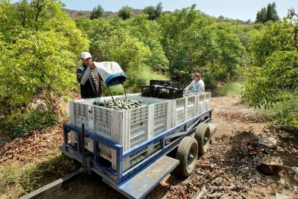 Chili droogt op door avocado's voor het buitenland