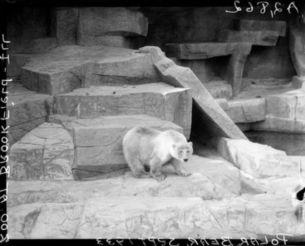 A polar bear explores its new Brookfield Zoo enclosure in 1933. From the Sun-Times archive.