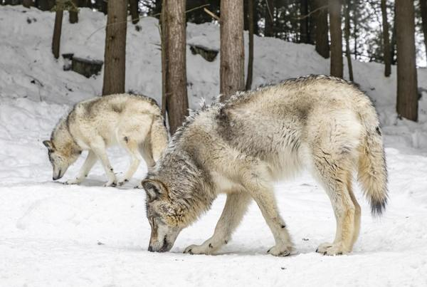 Wolves Scare Deer and Reduce Auto Collisions 24%, Study Says