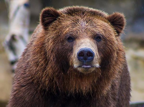 Tense Moments as Yellowstone Grizzly Bear Charges Ranger