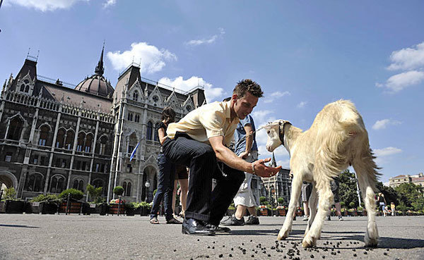 Another goat in front of the Hungarian Parliament. Photo: nol.
