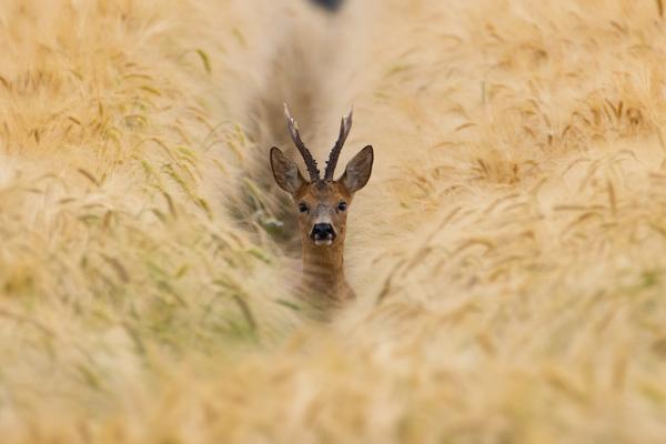 Versteckt im Getreidefeld (Foto: Elias Fink)