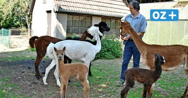 Süßer Nachwuchs: Alpaka-Kindergarten auf dem Hof am Iserberg in Hamberge