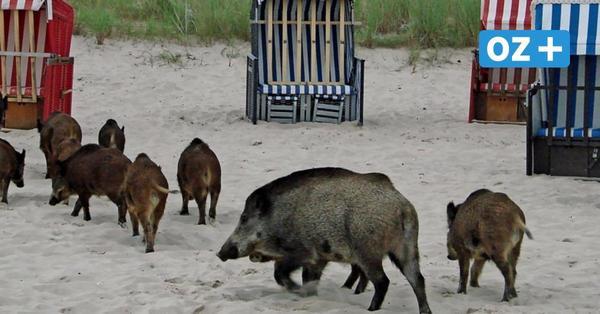 Video wird Internet-Hit: Wildschweine tummeln sich an der Ostsee zwischen Strandbesuchern