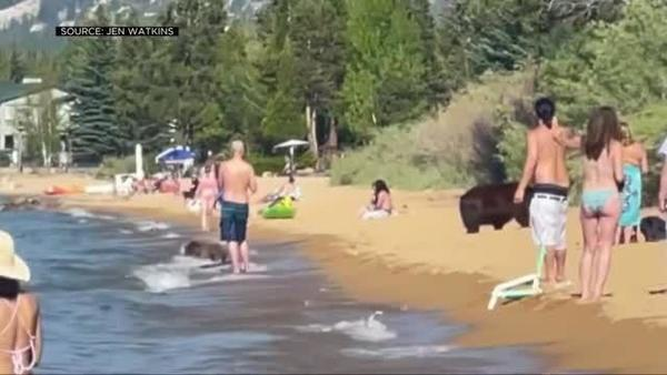 VIDEO: Mama bear and her 3 cubs visit crowded California beach