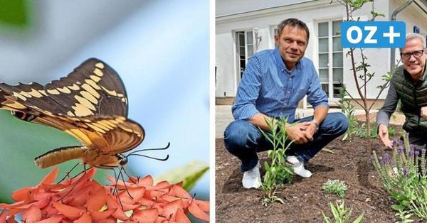 Mission Schmetterling: So kann Boltenhagen ein Paradies für den Schwalbenschwanz werden